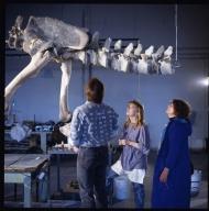 Mounting a dinosaur skeleton