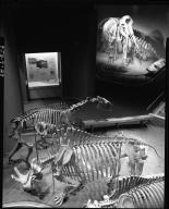 Mammoth skeletons