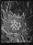 Avocet eggs