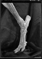 Trilophodon phippsi