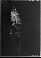 Mallow Malvaceae