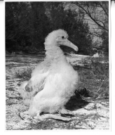 Albino Black-footed Albatross chick
