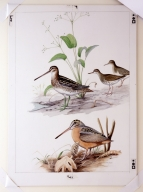 Common Snipe, Spotted Sandpiper, and American Woodcock