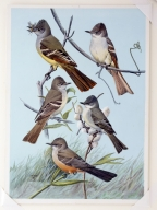 Great Crested Flycatcher, Ash-throated Flycatcher, Olivaceous Flycatcher, Eastern Phoebe, and Say's Phoebe.