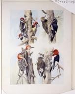Yellow-bellied Sapsucker, Williamson's Sapsucker, Red-bellied Woodpecker, and Red-headed Woodpecker.
