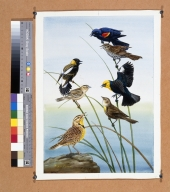 Red-winged Blackbird, Bobolink, and Western Meadowlark.