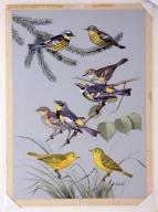 Magnolia Warbler , Myrtle Warbler, Audubon's Warbler, Yellow Warbler.