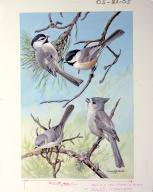 Mountain Chickadee, Black-capped Chickadee, Common Bushtit, and Plain Titmouse.