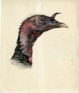 Portrait of Wild Turkey Head