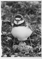 Plover with Eggs