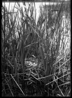 Coot's nest