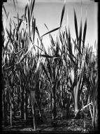 Cattails at Barr Lake