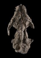 Ectoconus sp, Skull and teeth.