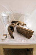 Tusk Material  from Snomastadon Excavation Drying in Humidity Contol Tent