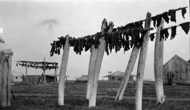 Whale meat on drying racks