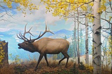 American Elk Diorama