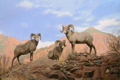 Rocky Mountain Bighorn Sheep Diorama