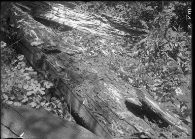 Log clawed by Bear in search of ants