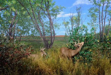 White-tailed Deer Diorama