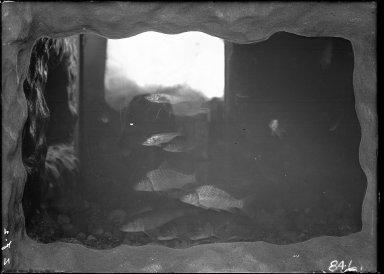 Carp in Aquarium