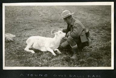 A Young Ovis Dalli Ram