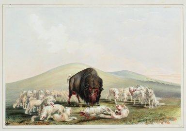 Buffalo Hunt. White Wolves Attacking a Buffalo Bull.