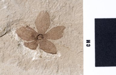 Fossil flower, PC088