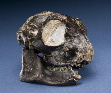 Smilodectes Gracilis Skull with Mandible