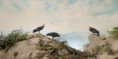 California Condor Diorama