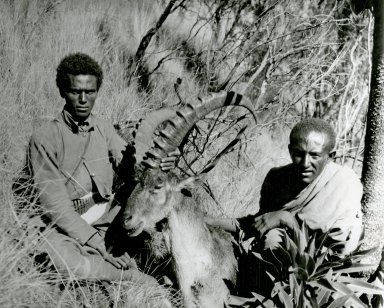 Abyssinia, natives with ibex specimen in field