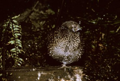 Blue Grouse, female