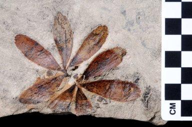 Fossil Leaf, Cycad