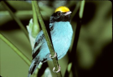 Yellow-crested, or Yellow-crowned, Manakin