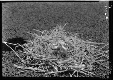 Ruddy duck nest, eggs & young