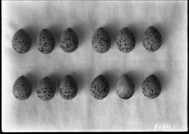 Mountain Plover eggs