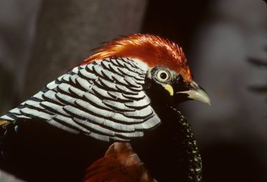 Hybrid Pheasant