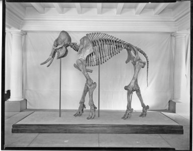 Articulated Skeleton of Dent Mammoth (juvenile)