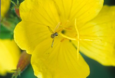 Black and yellow fly