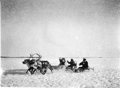 Reindeer pulling sleds
