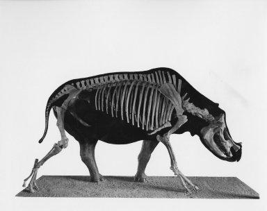 Diceratherium articulated skeleton