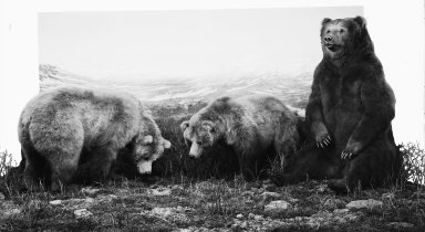 Alaskan Brown Bear group