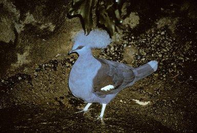 Westerm Crowned Pigeon