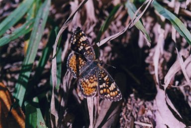 Close up of black and orange butterfly on grass leaves.