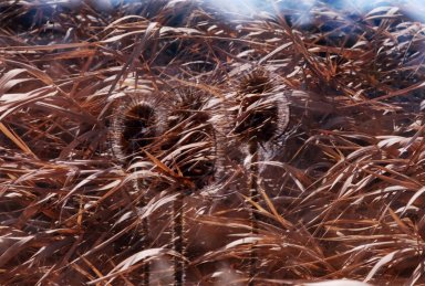Double Exposure - Seedheads in front of grasses