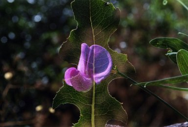 Double Exposure- Purple flower over green leaf.
