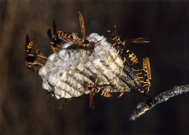 Close up of wasps and wasp nest