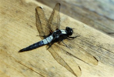 Close up of blue dragonfly
