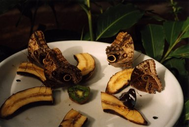 Close up of butterflies on fruit on plate
