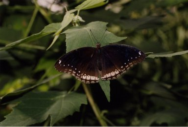 Close up of black and white butterly