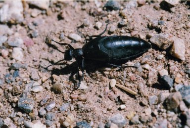 Close up of unidentified black beetle